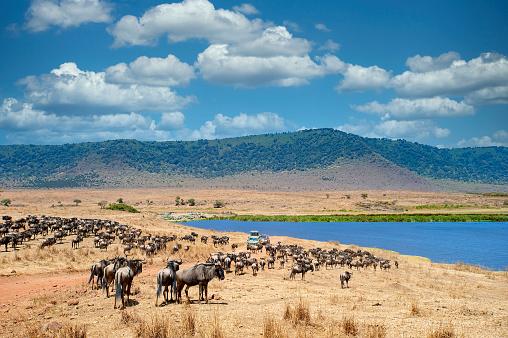 Horned「Safari vehicles in between large herds of animals, Ngorongoro Crater, Tanzania」:スマホ壁紙(5)