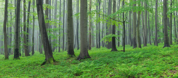 Panoramic「Germany, Thuringia, View of spring forest with beech trees」:スマホ壁紙(15)