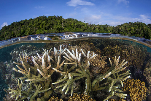ソロモン諸島「A slightly bleached staghorn coral colony in the Solomon Islands.」:スマホ壁紙(13)