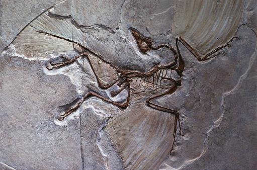 Extinct「Berlin Specimen of Archaeopteryx」:スマホ壁紙(19)