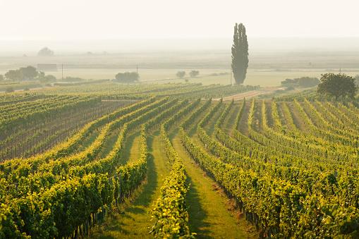 Austria「Austria, Burgenland, vineyards at Lake Neusiedl between Oggau and Rust」:スマホ壁紙(3)