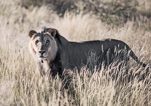 Cat「Lion (Panthera leo) standing in savannah, Kalahari Desert, Namibia」:スマホ壁紙(11)