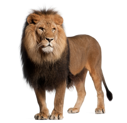 Male Animal「Lion standing and looking away」:スマホ壁紙(4)