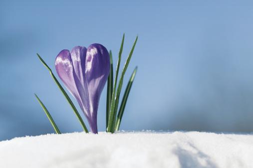 Crocus「Crocus bloom emerging from snow」:スマホ壁紙(10)