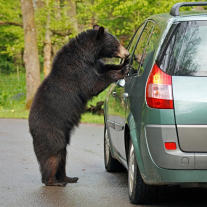 Animals Hunting「Bear and car」:スマホ壁紙(17)