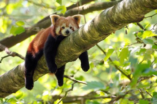 Panda「tired red panda」:スマホ壁紙(2)