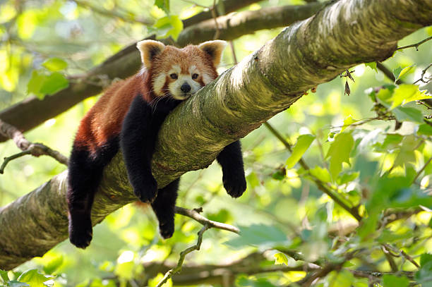 tired red panda:スマホ壁紙(壁紙.com)