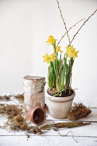 水仙「Yellow springtime daffodil display」:スマホ壁紙(14)