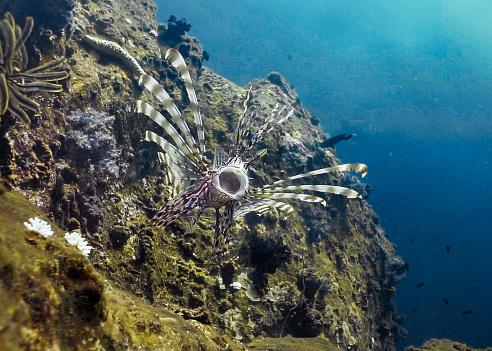 Warning Behavior「Underwater Lionfish aka Zebra fish (Pterois volitans) opening mouth defensive animal behavior」:スマホ壁紙(15)