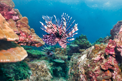 Protection「Underwater Lionfish aka Zebrafish (Pterois volitans) on coral reef」:スマホ壁紙(17)