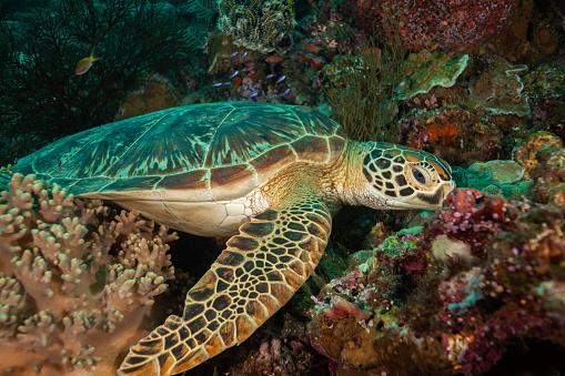 Green Turtle「Underwater shots of green and hawksbill sea turtles」:スマホ壁紙(17)