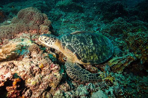 Green Turtle「Underwater shots of green and hawksbill sea turtles」:スマホ壁紙(14)