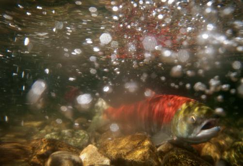 アダムズ川「水中写真、産卵するベニザケ」:スマホ壁紙(10)