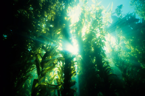 Animal Themes「Underwater forest of green kelp」:スマホ壁紙(10)