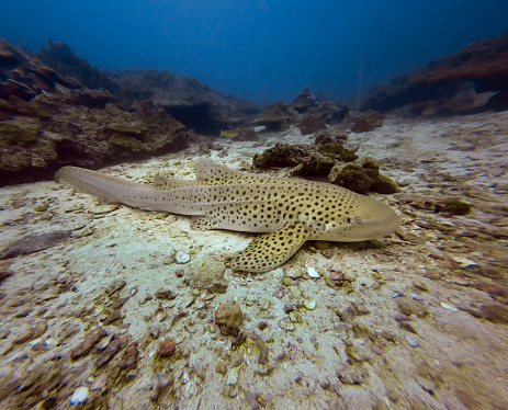 Eco Tourism「Underwater image of wild Endangered Species Zebra Leopard Shark (Stegostoma fasciatum) resting」:スマホ壁紙(4)