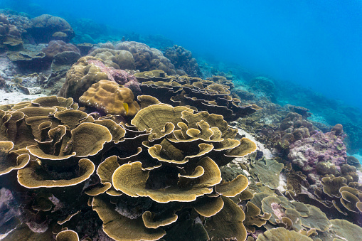 Eco Tourism「Underwater vulnerable species Maze coral (Montipora) reef」:スマホ壁紙(3)