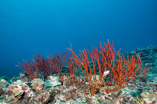 Soft Coral「Underwater red finger Gorgonia (Diodogorgia nodulifera) coral」:スマホ壁紙(2)