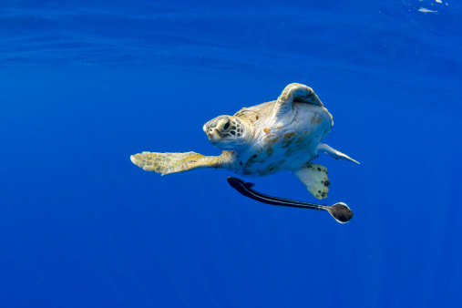 Green Turtle「Underwater View of Green Sea Turtle , Hawaii」:スマホ壁紙(10)