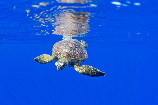 Green Turtle「Underwater View of Green Sea Turtle」:スマホ壁紙(1)