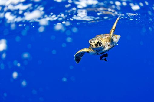 Green Turtle「Underwater View of Green Sea Turtle in Hawaii」:スマホ壁紙(11)