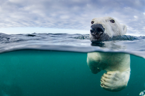 Polar Bear「Underwater Polar Bear by Harbour Islands, Nunavut, Canada」:スマホ壁紙(6)