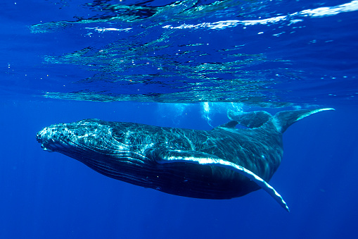 クジラ「Underwater shot of a humpback whale, Tahiti, French Polynesia」:スマホ壁紙(6)