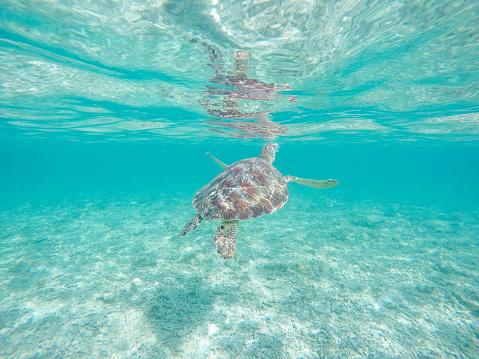 Green Turtle「Underwater shot of green turtle swimming」:スマホ壁紙(18)
