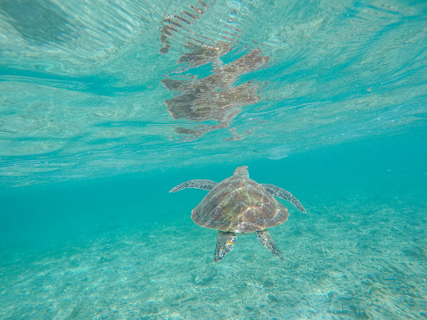 Green Turtle「Underwater shot of green turtle swimming」:スマホ壁紙(14)