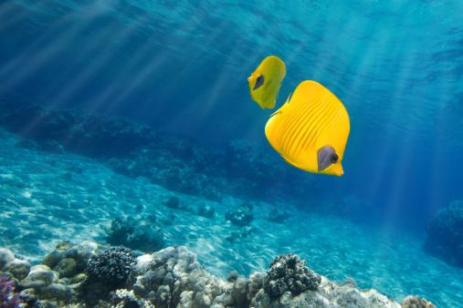 Butterflyfish「Underwater picture of Orangeface Butterflyfish on blue sea」:スマホ壁紙(11)