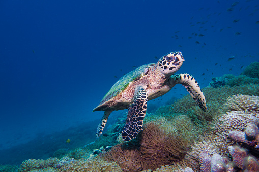 Sea Turtle「Underwater rare encounter with Critically Endangered Hawksbill Sea Turtle (Eretmochelys imbricata)」:スマホ壁紙(3)