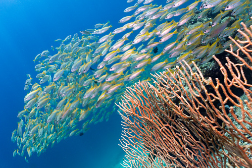 Freedom「Underwater school of Bigeye Snapper (Lutjanus lutjanus) fish swim over Gorgonian sea fan coral」:スマホ壁紙(2)