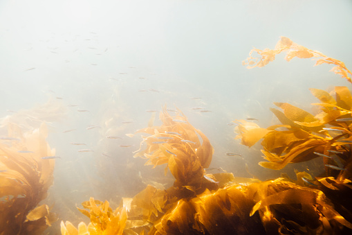 USA「underwater shot of kelp forest at Santa Cruz Island in the Channel Islands National Park with little fish.」:スマホ壁紙(3)