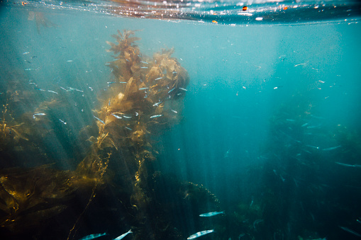 USA「underwater shot of kelp forest at Santa Cruz Island in the Channel Islands National Park with little fish.」:スマホ壁紙(0)