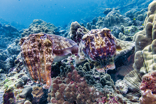 Sepia Toned「Underwater male and female Cuttlefish (Sepia pharaonis) Cephalopod mating ritual」:スマホ壁紙(10)