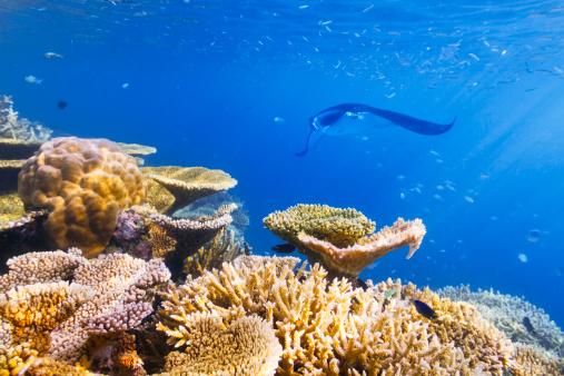 マンタ「水中の海洋生物」:スマホ壁紙(13)