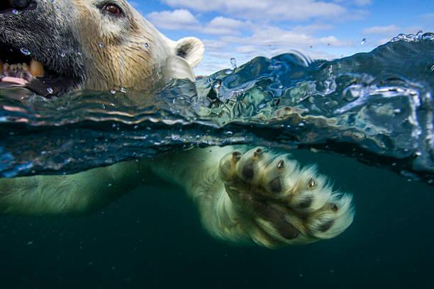 Underwater Polar Bear, Hudson Bay, Nunavut, Canada:スマホ壁紙(壁紙.com)