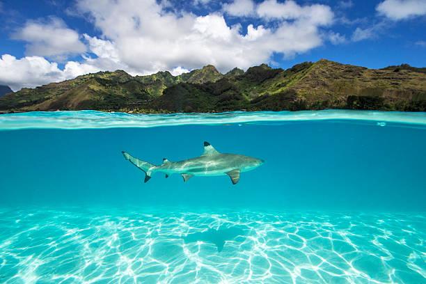 Underwater shot of a black tip Shark, Tahiti, French Polynesia:スマホ壁紙(壁紙.com)