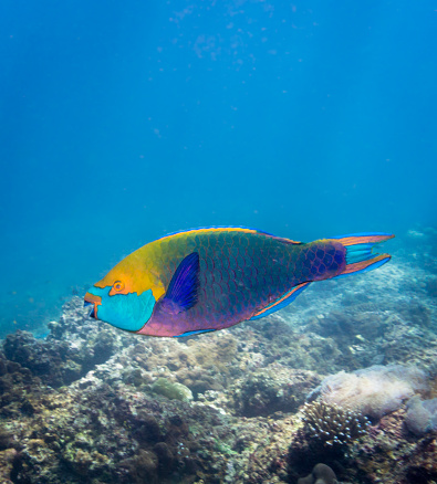 Andaman Sea「Underwater image of Parrotfish (Scarus prasiognathos) on bleached coral reef」:スマホ壁紙(16)