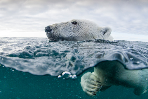 Bear「Underwater Polar Bear in Hudson Bay, Canada」:スマホ壁紙(12)