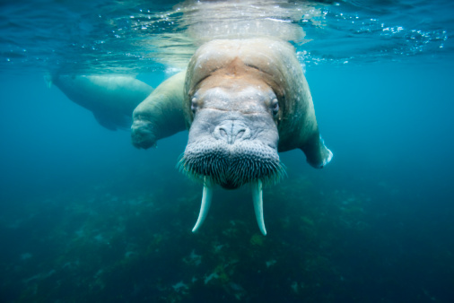 Horned「Underwater Walrus, Svalbard」:スマホ壁紙(0)