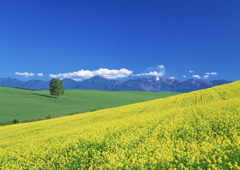 アブラナ「Kikarashi field and Tokachidake mountain field」:スマホ壁紙(12)