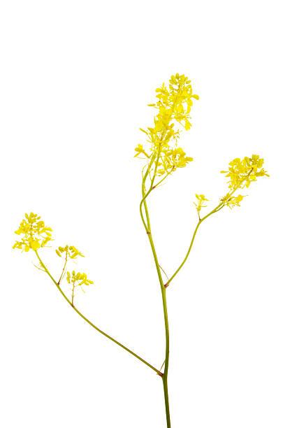 Yellow Black Mustard Flowers Brassica nigra:スマホ壁紙(壁紙.com)