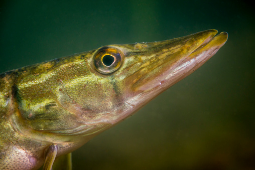 Northern Pike「Pike fish underwater in the Straussee」:スマホ壁紙(13)