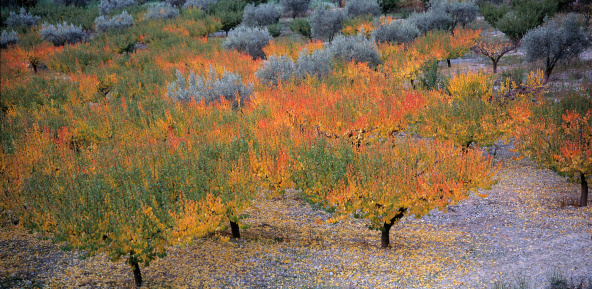 Apricot Tree「Apricot and oliver trees in PROVENCE area」:スマホ壁紙(11)