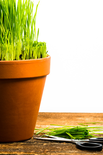 Barn Swallow「Fresh wheatgrass growing in a terracotta pot isolated against a white background.」:スマホ壁紙(17)