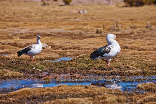 Bolivian Andes「Andean Goose, Chloephaga melanoptera」:スマホ壁紙(4)