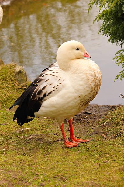 Andean Goose. Chloephaga melanoptera. Andes:スマホ壁紙(壁紙.com)