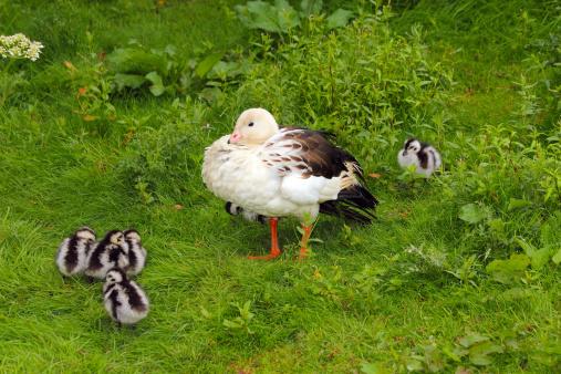 Bolivian Andes「Andean Goose and Chicks. Chloephaga melanoptera. S」:スマホ壁紙(18)