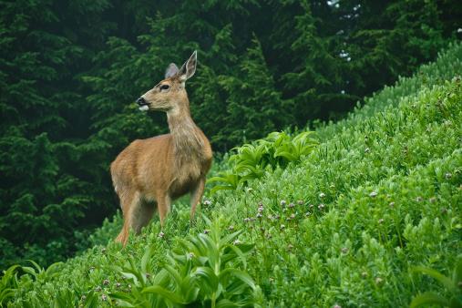レーニア山国立公園「鹿、アルプスの草地」:スマホ壁紙(13)