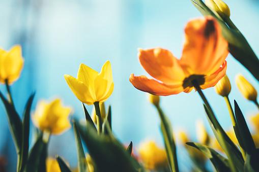 Flower Head「Tulip Flowers」:スマホ壁紙(17)